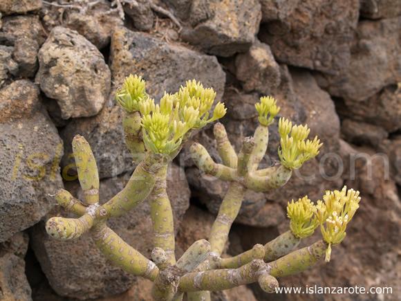 Jardin de cactus lanzarote cactus lanzarote for Jardin de cactus lanzarote